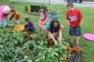 Lettuce, Vegetable Picking, Kids Activities, Lansford Community Garden, Lansford, 7-28-2014 (40)
