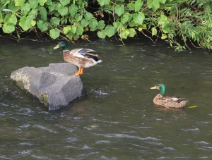Pre Schuylkill River Cleanup, Next to Boyer's Food Market, Tamaqua, 8-7-2014 (62)
