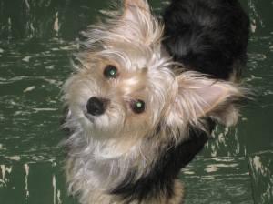 Missing Dog, Iris, Wendy Dunkelberger, Mauch Chunk Street, Tamaqua, 10-28-2014 (1)