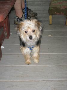 Missing Dog, Iris, Wendy Dunkelberger, Mauch Chunk Street, Tamaqua, 10-28-2014 (2)