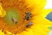 Bees, Wasps, Sunflowers, Catawissa Road, Walker Township, 7-26-2015 (47)