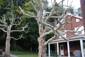 Cut Trees, Noth Lehigh Street, Tamaqua, 8-16-2015 (6)