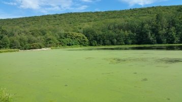 Green Algae, Rabbit Run Reservoir, Tamaqua, Walker Township, 8-23-2015 (17)
