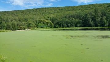 Green Algae, Rabbit Run Reservoir, Tamaqua, Walker Township, 8-23-2015 (17)