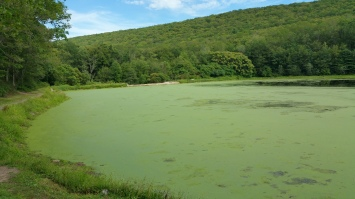 Green Algae, Rabbit Run Reservoir, Tamaqua, Walker Township, 8-23-2015 (25)