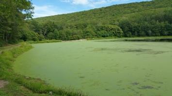 Green Algae, Rabbit Run Reservoir, Tamaqua, Walker Township, 8-23-2015 (25)