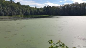 Green Algae, Rabbit Run Reservoir, Tamaqua, Walker Township, 8-23-2015 (7)