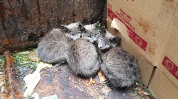 Kittens in Dumpster, Sisters Cantina, Tamaqua, 8-19-2015 (17)