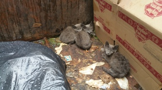 Kittens in Dumpster, Sisters Cantina, Tamaqua, 8-19-2015 (20)