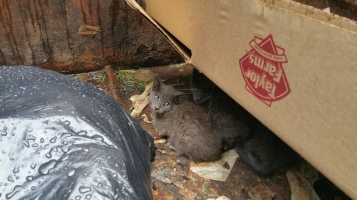 Kittens in Dumpster, Sisters Cantina, Tamaqua, 8-19-2015 (3)