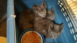 Kittens in Dumpster, Sisters Cantina, Tamaqua, 8-19-2015 (64)