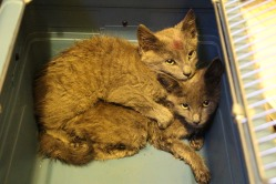 Kittens in Dumpster, Sisters Cantina, Tamaqua, 8-19-2015 (72)