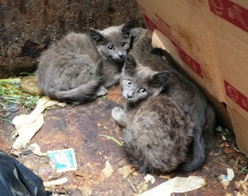 Kittens in Dumpster, Sisters Cantina, Tamaqua, 8-19-2015 (9) - Copy