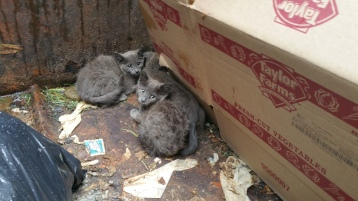 Kittens in Dumpster, Sisters Cantina, Tamaqua, 8-19-2015 (9)