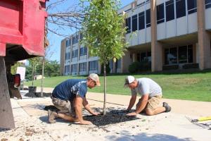 Lanscapers Replacing Trees in Front of Tamaqua High School, Tamaqua, 8-14-2015 (15)