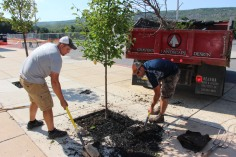 Lanscapers Replacing Trees in Front of Tamaqua High School, Tamaqua, 8-14-2015 (3)