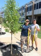 Lanscapers Replacing Trees in Front of Tamaqua High School, Tamaqua, 8-14-2015 (6)