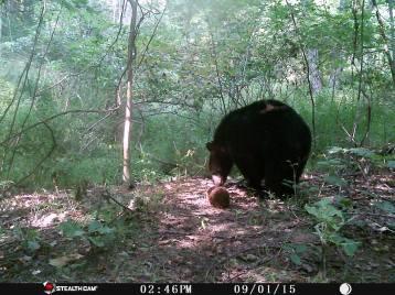 Trail Camera Photos, from Dennis Puls, Frackville, 9-16-2015 (10)