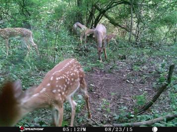 Trail Camera Photos, from Dennis Puls, Frackville, 9-16-2015 (11)