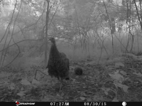 Trail Camera Photos, from Dennis Puls, Frackville, 9-16-2015 (12)