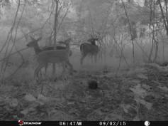 Trail Camera Photos, from Dennis Puls, Frackville, 9-16-2015 (13)