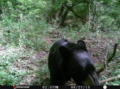 Trail Camera Photos, from Dennis Puls, Frackville, 9-16-2015 (16)