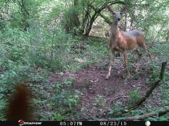 Trail Camera Photos, from Dennis Puls, Frackville, 9-16-2015 (18)