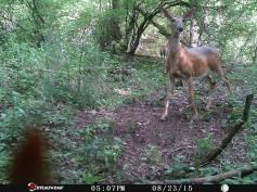 Trail Camera Photos, from Dennis Puls, Frackville, 9-16-2015 (18)
