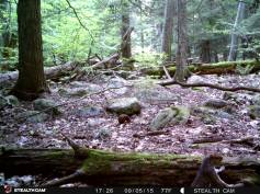 Trail Camera Photos, from Dennis Puls, Frackville, 9-16-2015 (2)