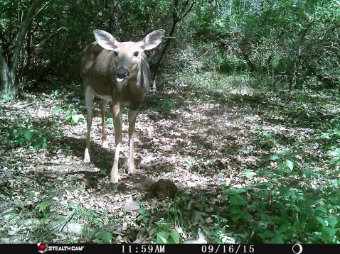 Trail Camera Photos, from Dennis Puls, Frackville, 9-16-2015 (20)