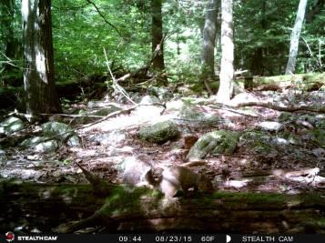 Trail Camera Photos, from Dennis Puls, Frackville, 9-16-2015 (22)