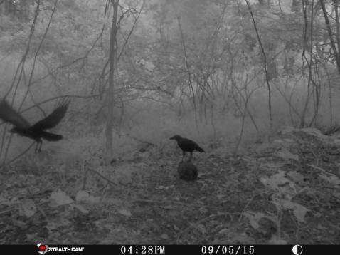 Trail Camera Photos, from Dennis Puls, Frackville, 9-16-2015 (23)