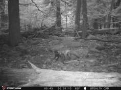 Trail Camera Photos, from Dennis Puls, Frackville, 9-16-2015 (28)