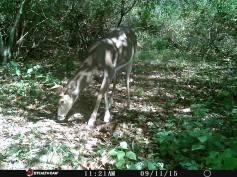 Trail Camera Photos, from Dennis Puls, Frackville, 9-16-2015 (29)