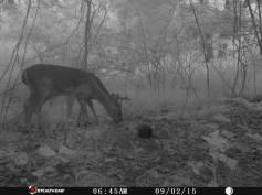 Trail Camera Photos, from Dennis Puls, Frackville, 9-16-2015 (3)