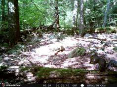 Trail Camera Photos, from Dennis Puls, Frackville, 9-16-2015 (30)