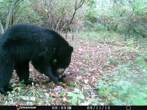 Trail Camera Photos, from Dennis Puls, Frackville, 9-16-2015 (31)