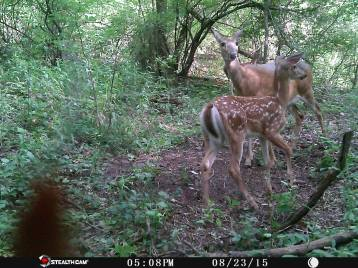 Trail Camera Photos, from Dennis Puls, Frackville, 9-16-2015 (32)