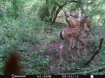 Trail Camera Photos, from Dennis Puls, Frackville, 9-16-2015 (32)