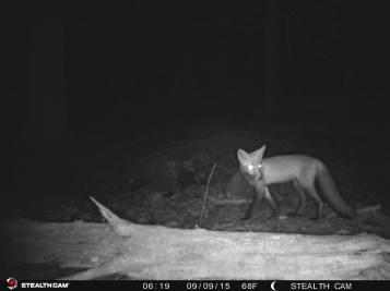 Trail Camera Photos, from Dennis Puls, Frackville, 9-16-2015 (33)