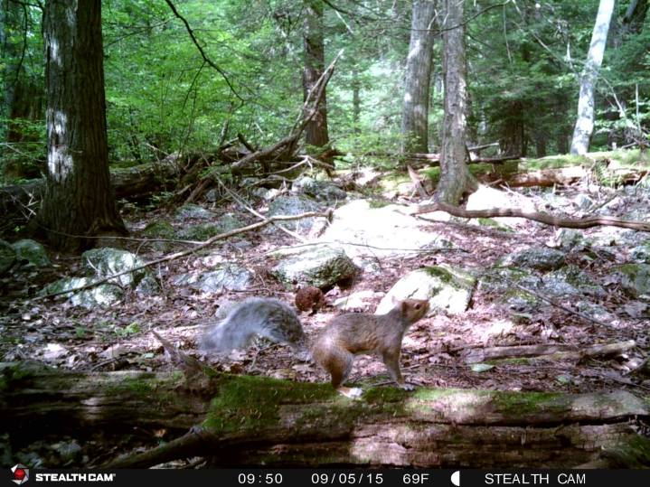 Trail Camera Photos, from Dennis Puls, Frackville, 9-16-2015 (34)