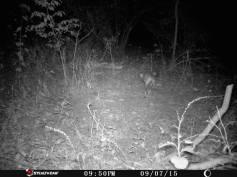 Trail Camera Photos, from Dennis Puls, Frackville, 9-16-2015 (5)