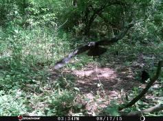 Trail Camera Photos, from Dennis Puls, Frackville, 9-16-2015 (8)