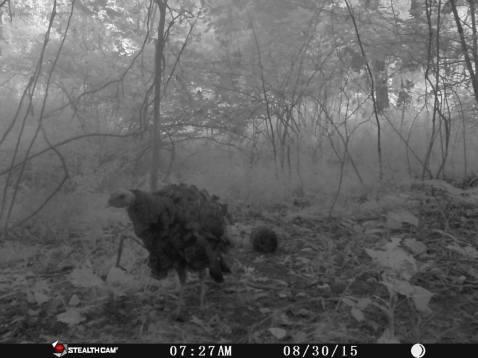 Trail Camera Photos, from Dennis Puls, Frackville, 9-16-2015 (9)