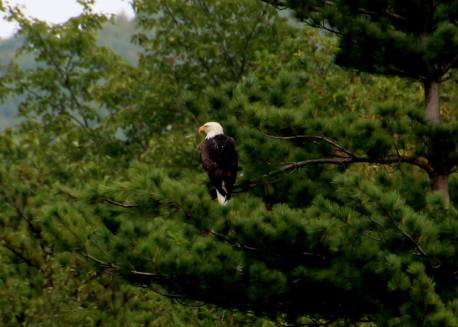 Eagles at Mauch Chunk Lake, from Lyle Mantz, Jim Thorpe, 9-2-2015 (2)