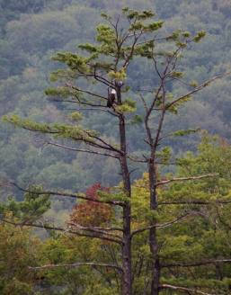 Eagles at Mauch Chunk Lake, from Lyle Mantz, Jim Thorpe, 9-2-2015 (3)