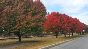 Red and Green Trees, North Railroad Street, Tamaqua, 10-31-2015 (4)
