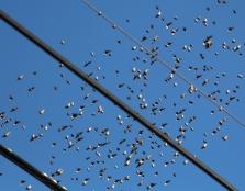 Flock of Birds Over Tamaqua, 11-25-2015 (36)