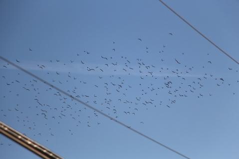 Flock of Birds Over Tamaqua, 11-25-2015 (43)