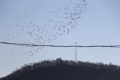 Flock of Birds Over Tamaqua, 11-25-2015 (45)
